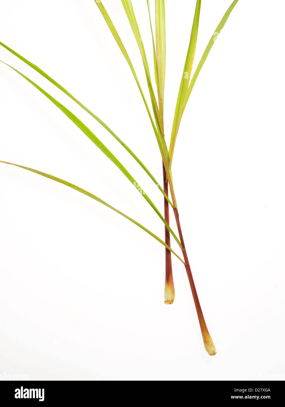 Two Lemongrass Stems on White Background - Stock Image
