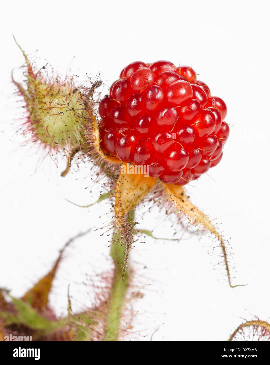 Ripe Wild Raspberry on Stem, Close Up Stock Photo
