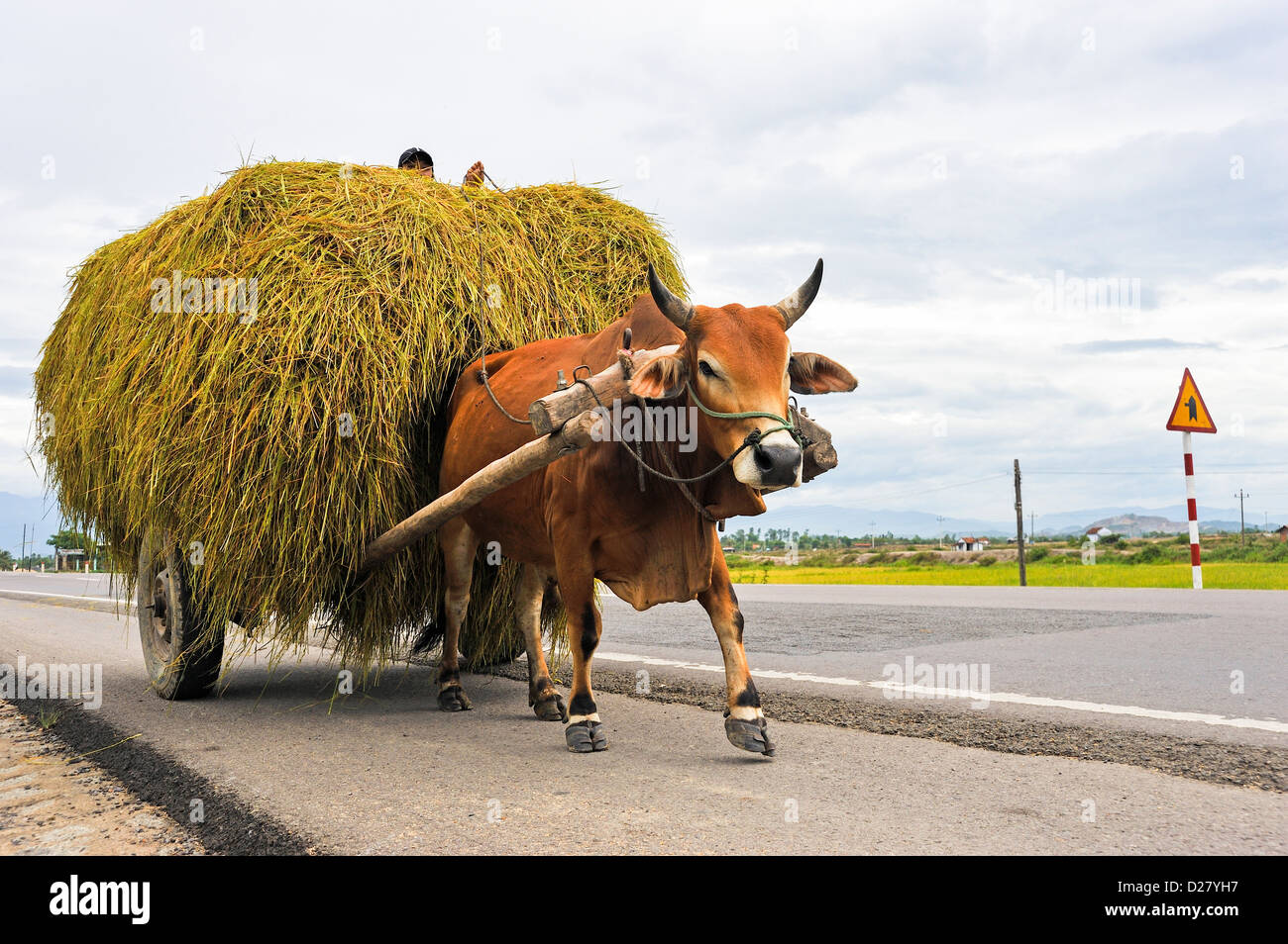 Ox pulling a cart full of hay / straw on a road near Nha Trang, Vietnam - Stock Image