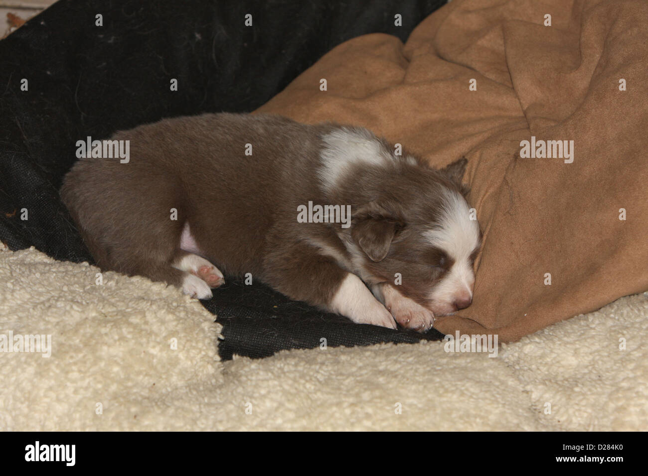 Dog Border Collie puppy sleeping on the covers - Stock Image