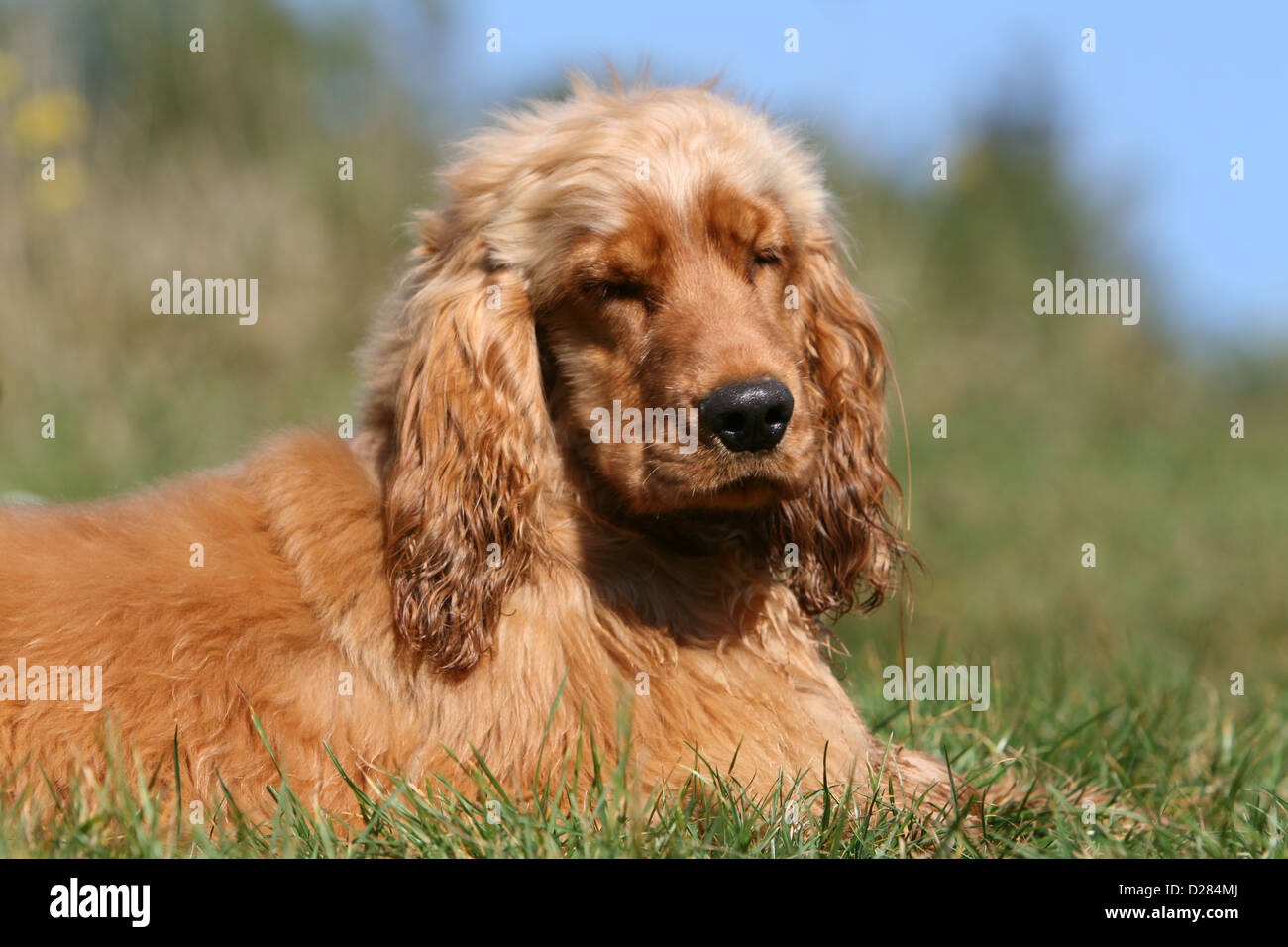 Dog English Cocker Spaniel Puppy Red Sleeping In A Meadow Stock Photo Alamy