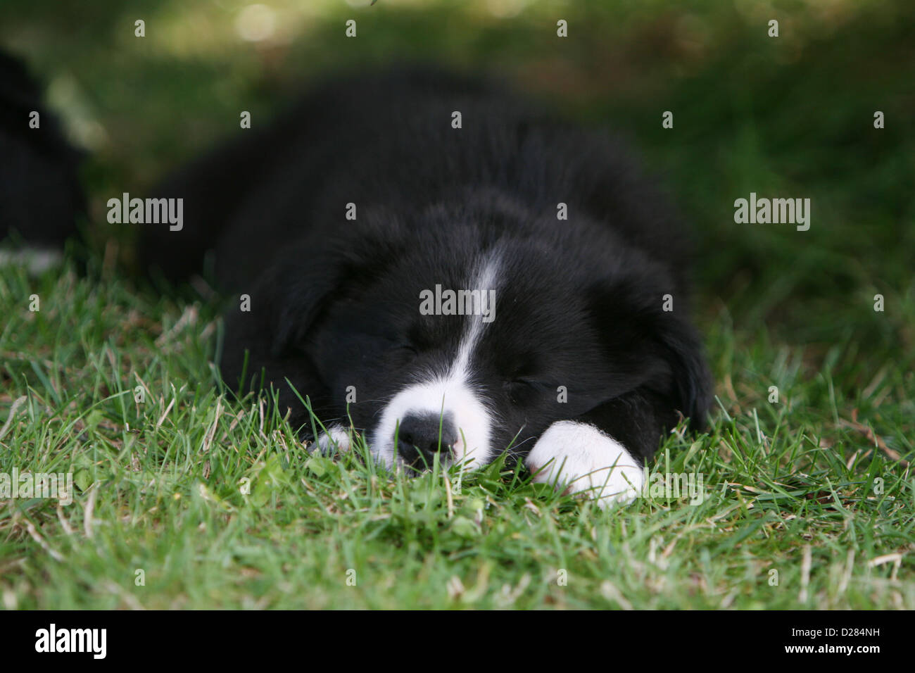 Dog Border Collie puppy sleeping in the grass - Stock Image