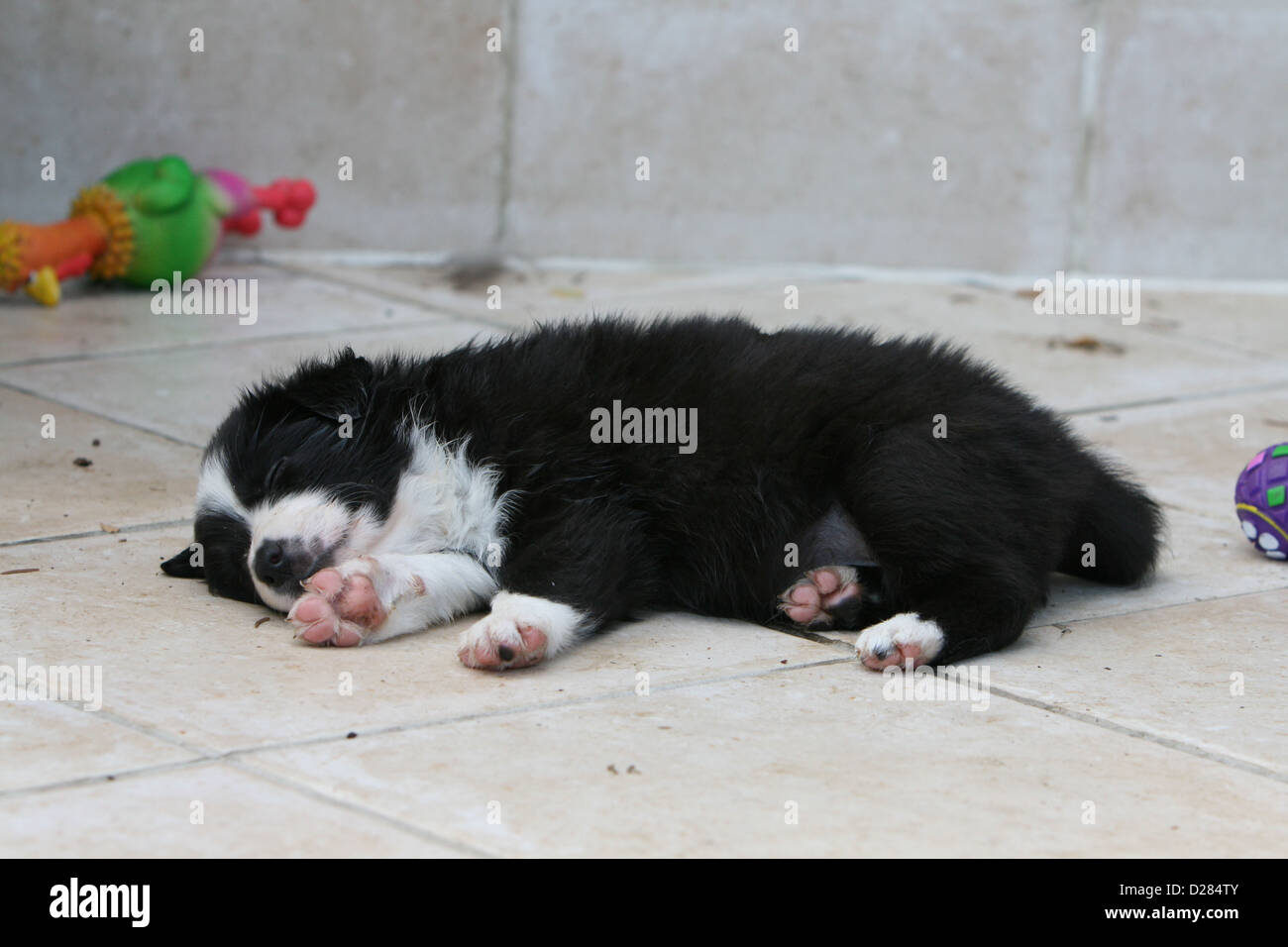 Dog Border Collie puppy sleeping on the ground - Stock Image