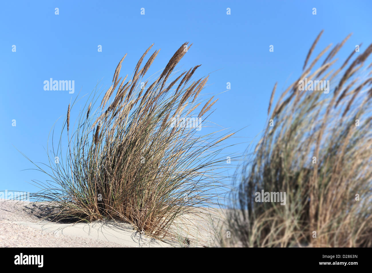 European marram grass / beach grass / beachgrass (Ammophila arenaria) growing as pioneer species along the North - Stock Image