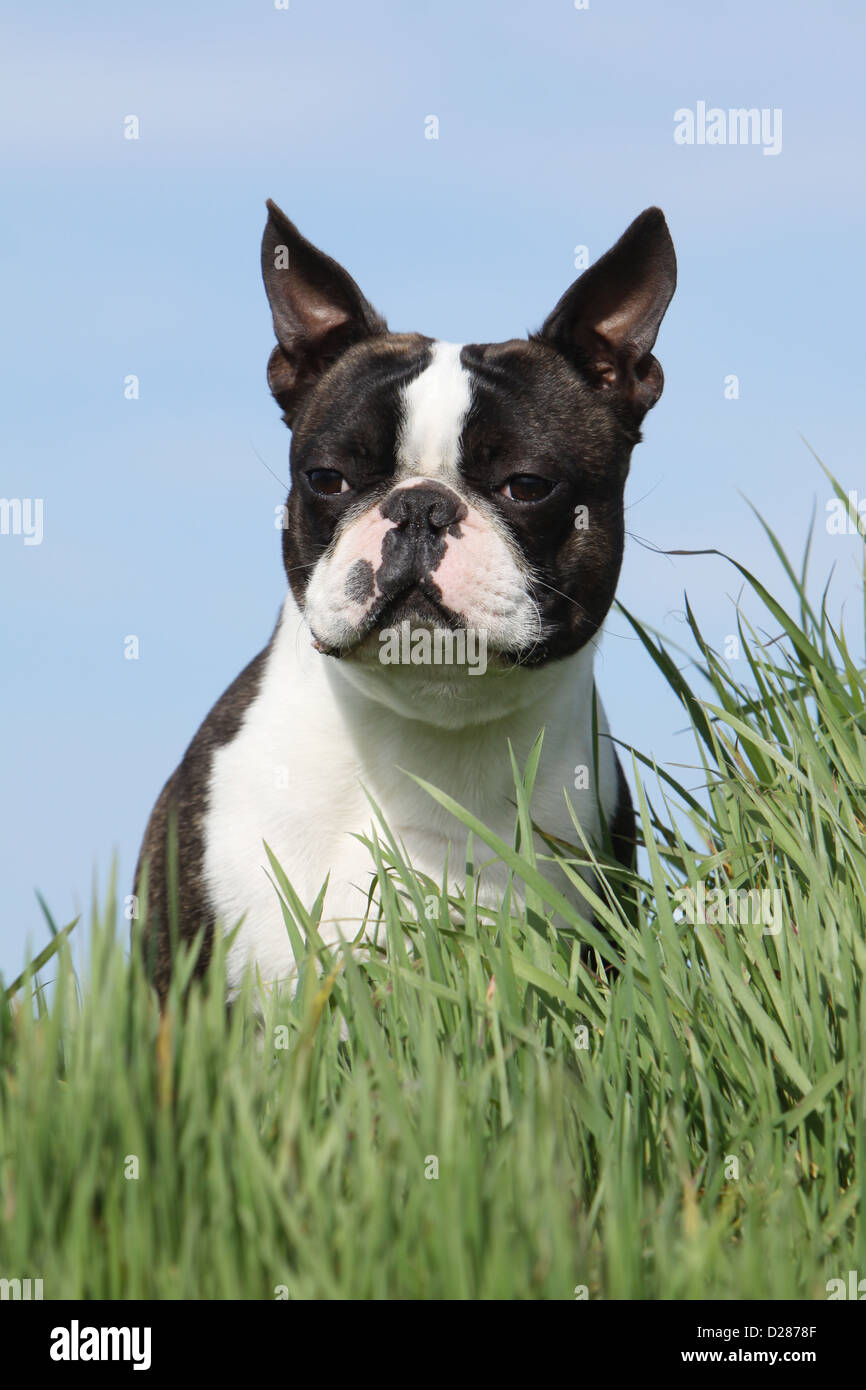 boston terrier brindle brindle boston terrier stock photos brindle boston 6933