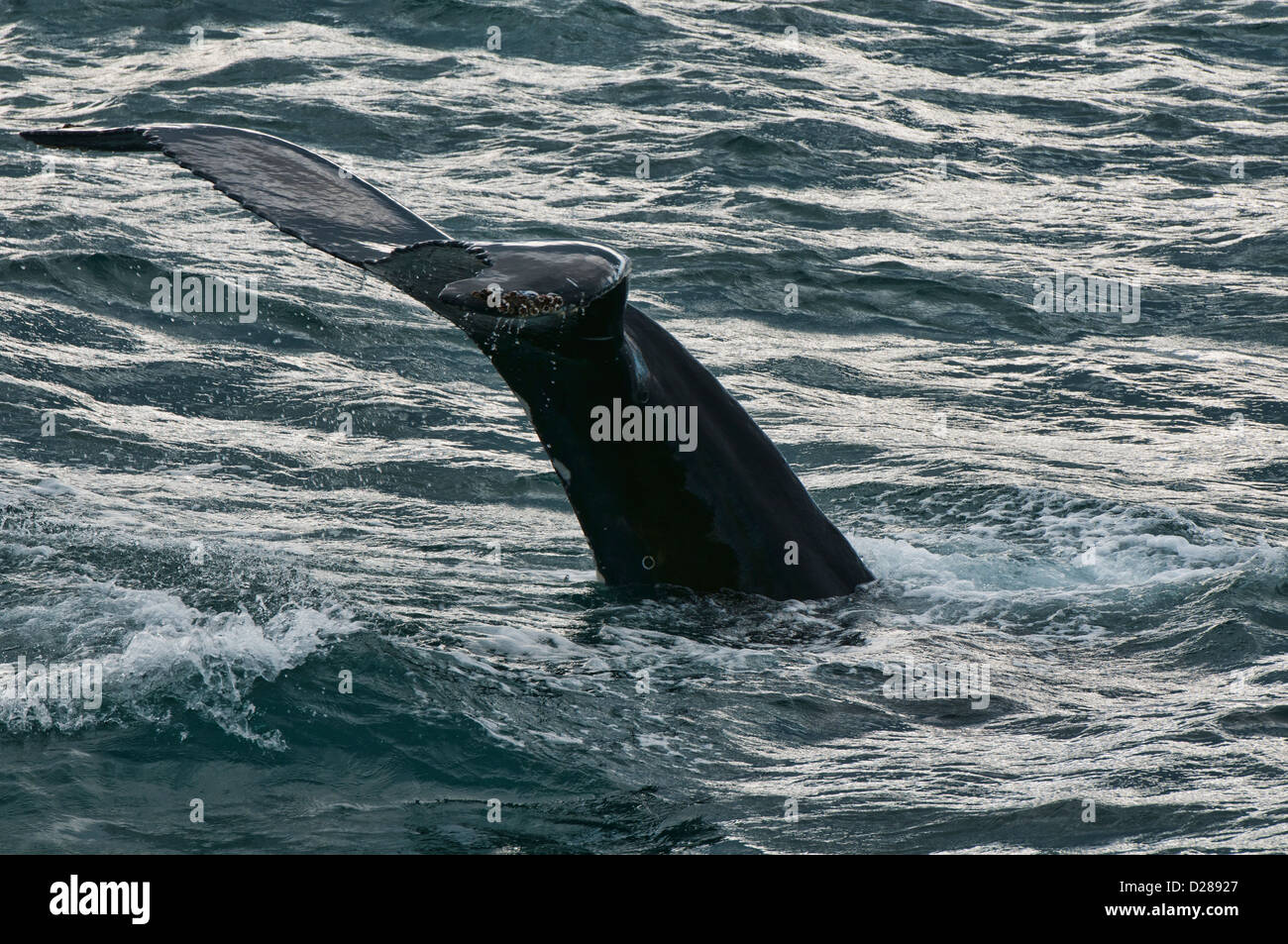 Humpback whale (Megaptera novaeangliae) diving in Husavik, Iceland Stock Photo