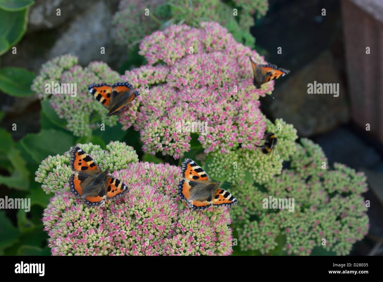4 Small tortoiseshell butterflies on summer flowers - Stock Image