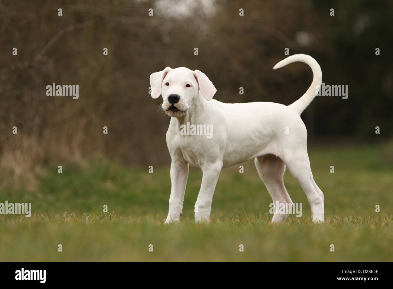 Dog Dogo Argentino / Dogue Argentin (natural ears) puppy standing