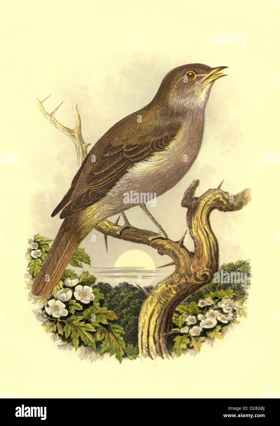 High resolution enhanced scan of antiquarian Victorian colour plate from 1860's Cassell's Book of Birds - Stock Image