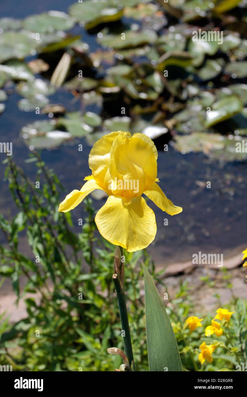 A single yellow Iris bulleyana (Iridaceae) flower in The Royal Botanic Gardens, Kew, Surrey, England. - Stock Image