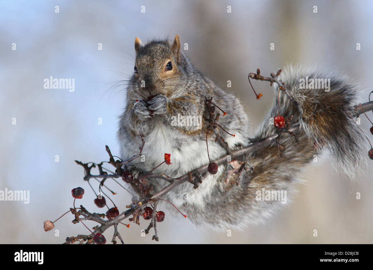 Grey squirrel (Sciurus carolinensis) eating fruits in winter - Stock Image