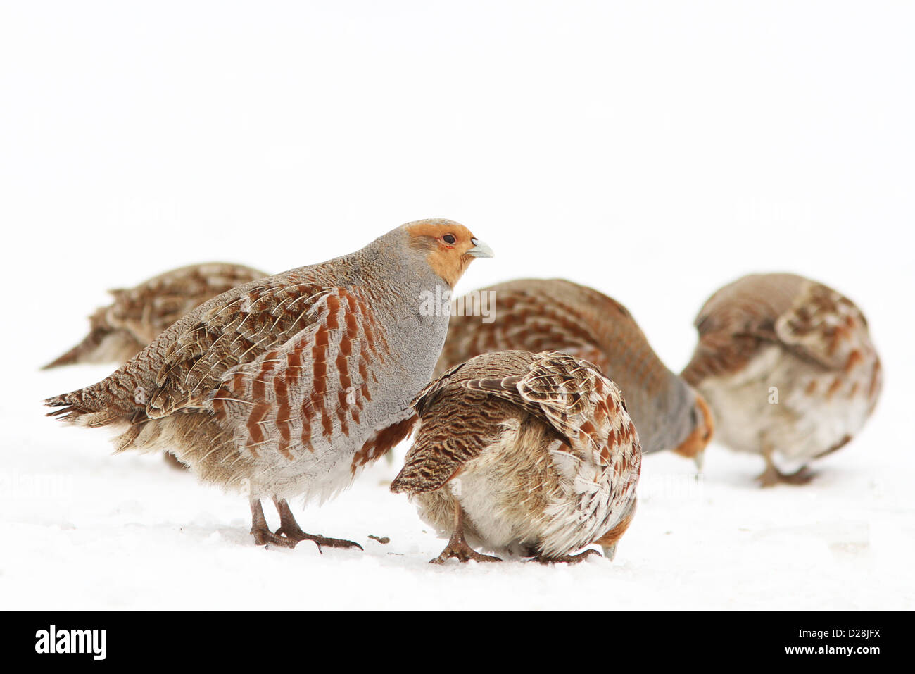 Grey Partridge flock (Perdix perdix) in winter - Stock Image
