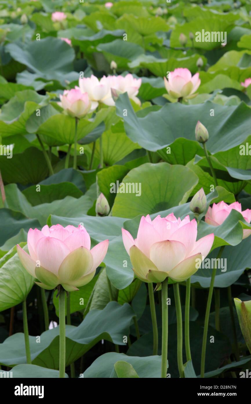 Lotus flower side view stock photos lotus flower side view stock lotus flowers stock image izmirmasajfo