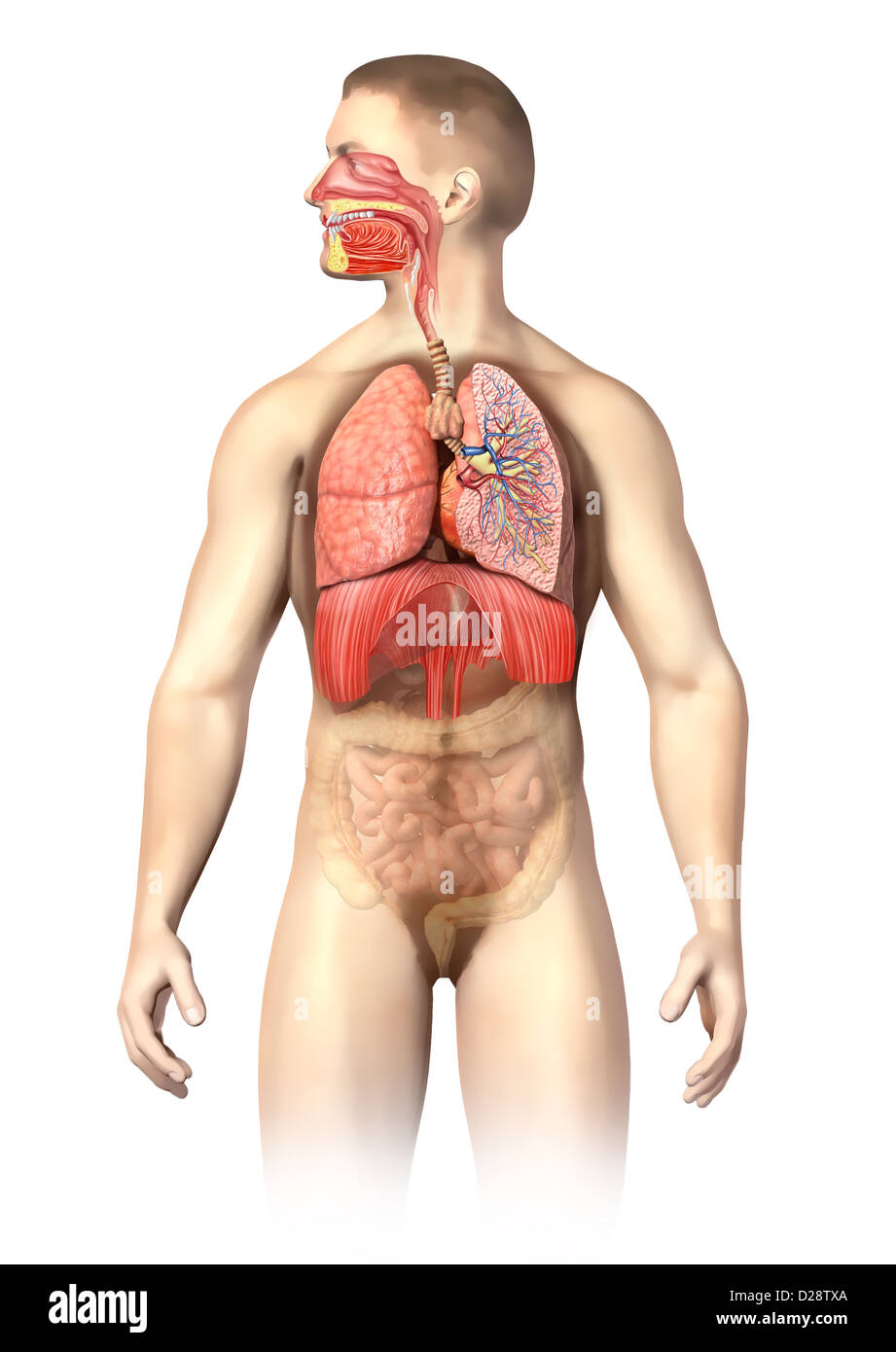 Man Anatomy Respiratory System Cutaway Including Mouth The Other