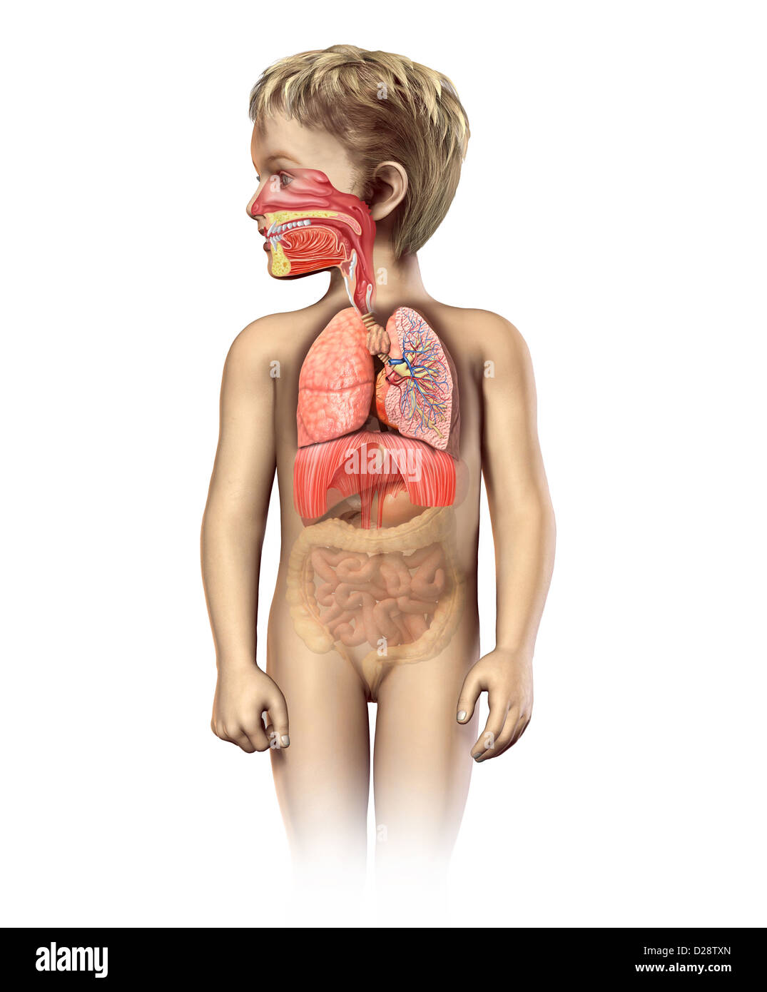 Child anatomy full respiratory system cutaway. Including mouth and nasal. Other organs in half tone. On white background. - Stock Image