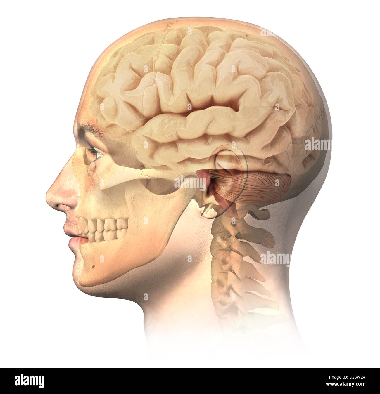 Male human head with skull and brain in ghost effect side view male human head with skull and brain in ghost effect side view anatomy image on white background with clipping path ccuart Choice Image
