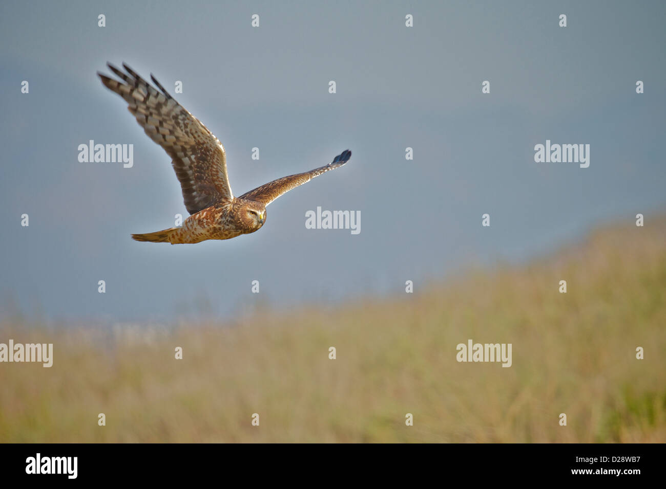 Female Northern Harrier  in flight in over a meadow in  California (Circus cyaneus) Stock Photo