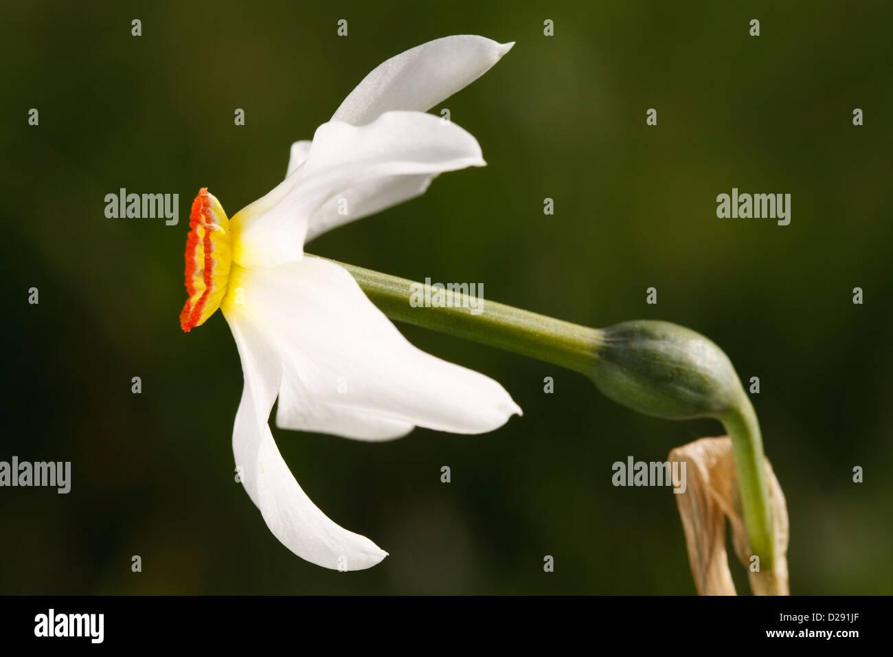 Poet's or Pheasants Eye Narcissus (Narcissus poeticus) flower. Porté-Puymorens, Pyrénées-Orientales, - Stock Image