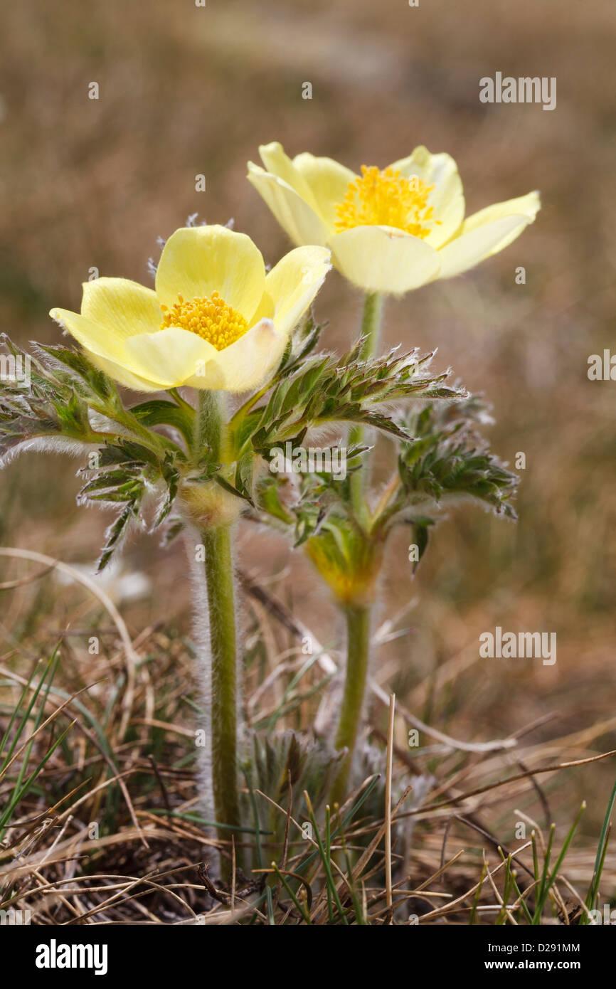 Yellow Alpine Pasque Flower (Pulsatilla alpina apiifolia) flowering at 2400m in the Pyrenees. Port d'Envalira, - Stock Image