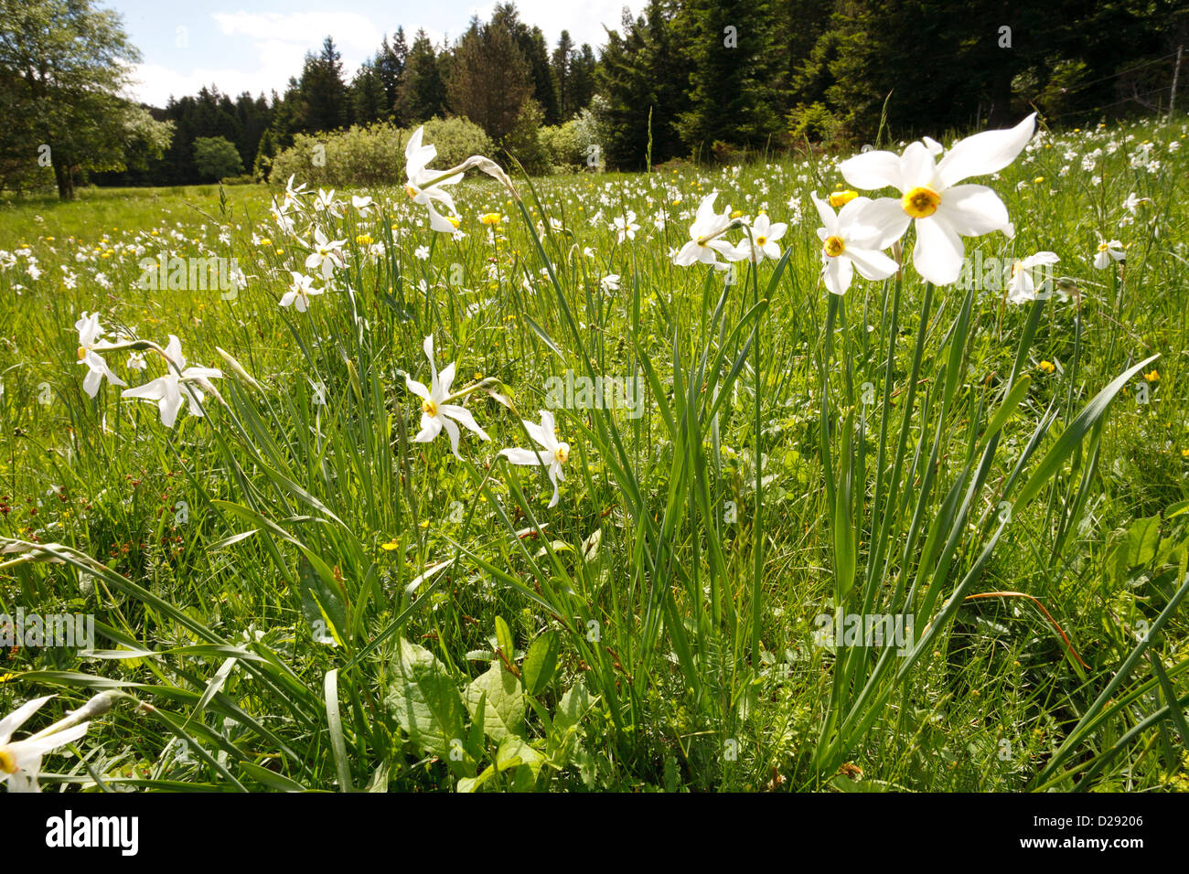 Poet's or Pheasants Eye Narcissus (Narcissus poeticus) flowering in a forest meadow, Aude, France. June. - Stock Image