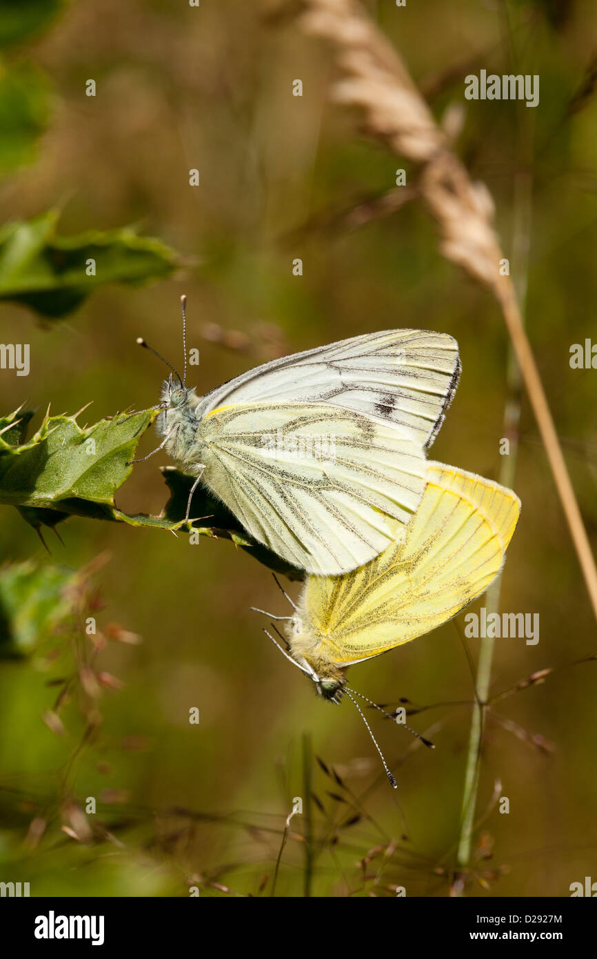 Green-veined White butterflies (Pieris napi) mating pair. Powys, Wales. July. - Stock Image