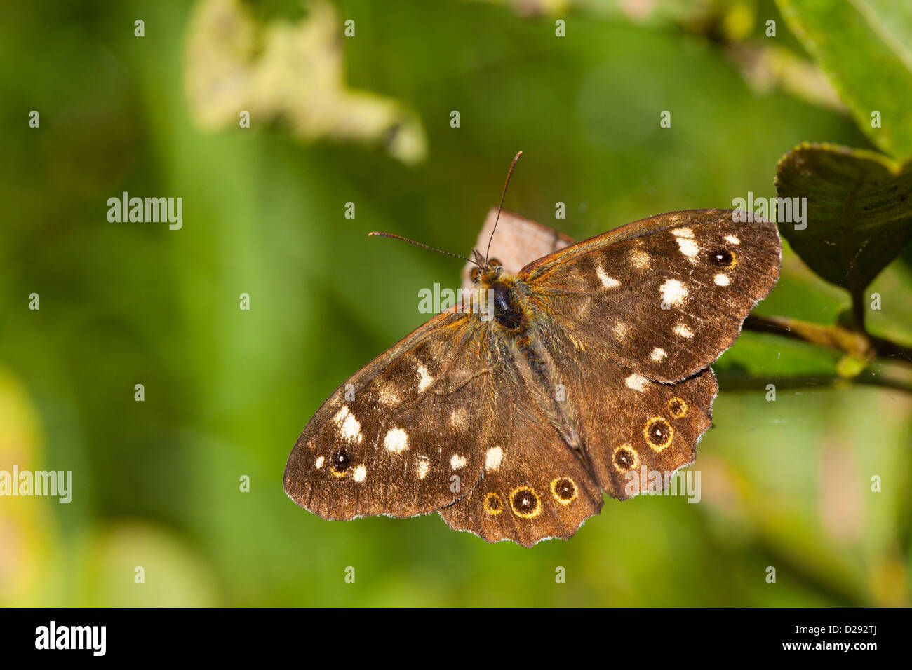 Speckled Wood Butterfly (Pararge aegeria). Woodwalton Fen NNR. Cambridgeshire, England. September. - Stock Image