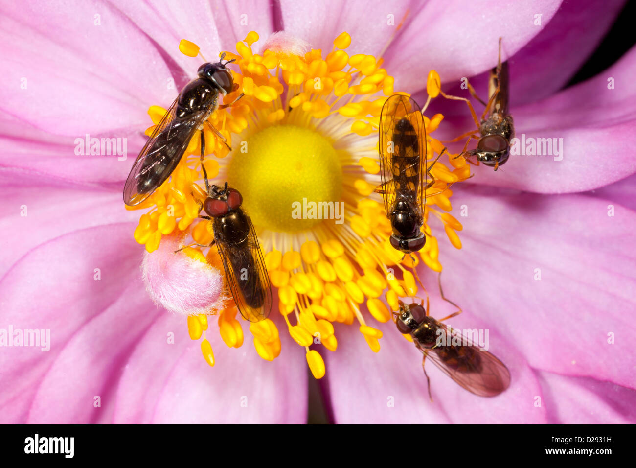Hoverflies Melanostoma mellinum and scalare females (right) and a male and a female Platycheirus albimanus (left) - Stock Image