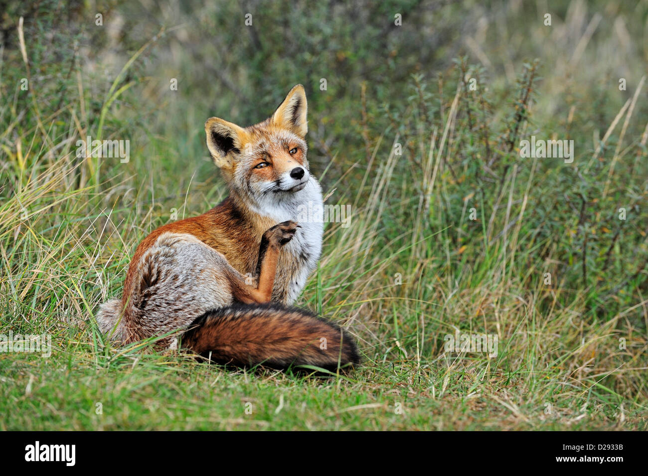 Red fox (Vulpes vulpes) in thicket grooming its pelt by scratching fur with hind leg in autumn Stock Photo
