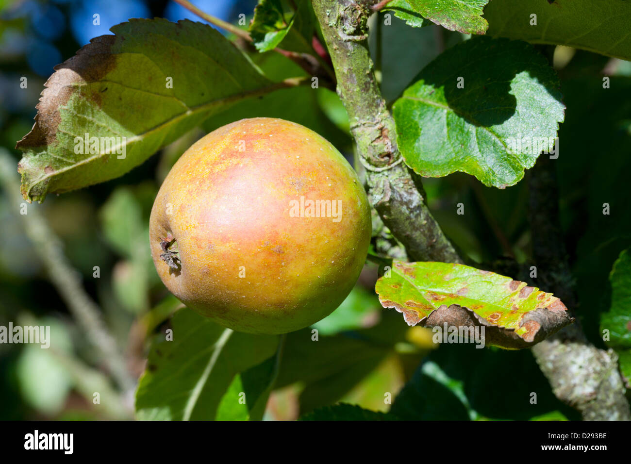 Cultivated Apple (Malus domestica) variety ' Rosemary Russet'. A dessert variety on an old tree in an orchard - Stock Image