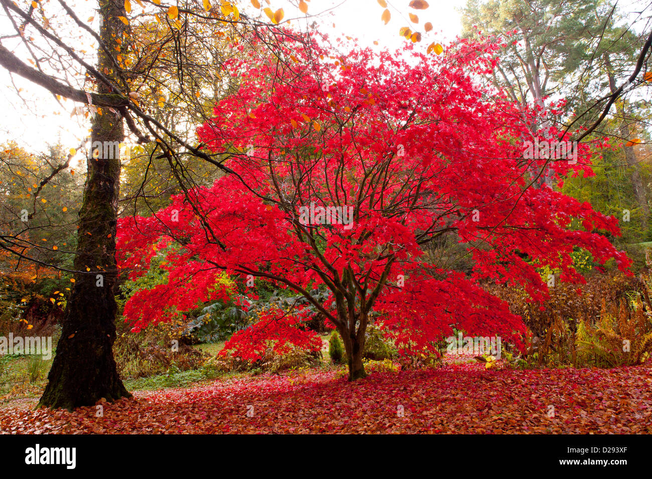 Japanese Maple Acer Palmatum Tree In A Woodland Garden