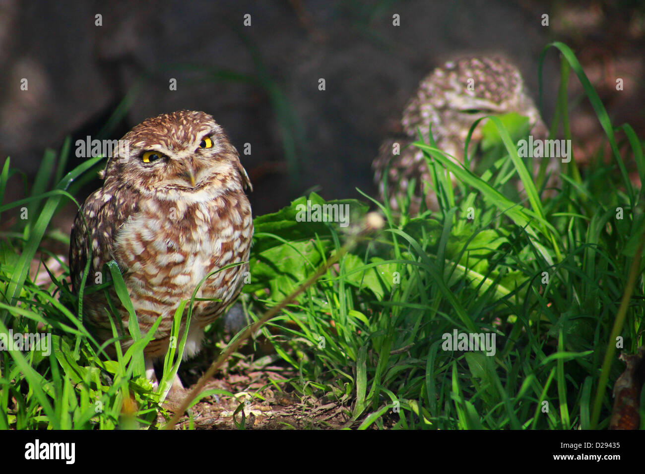 burrowing owls in parque condor, otavalo, ecuador - Stock Image