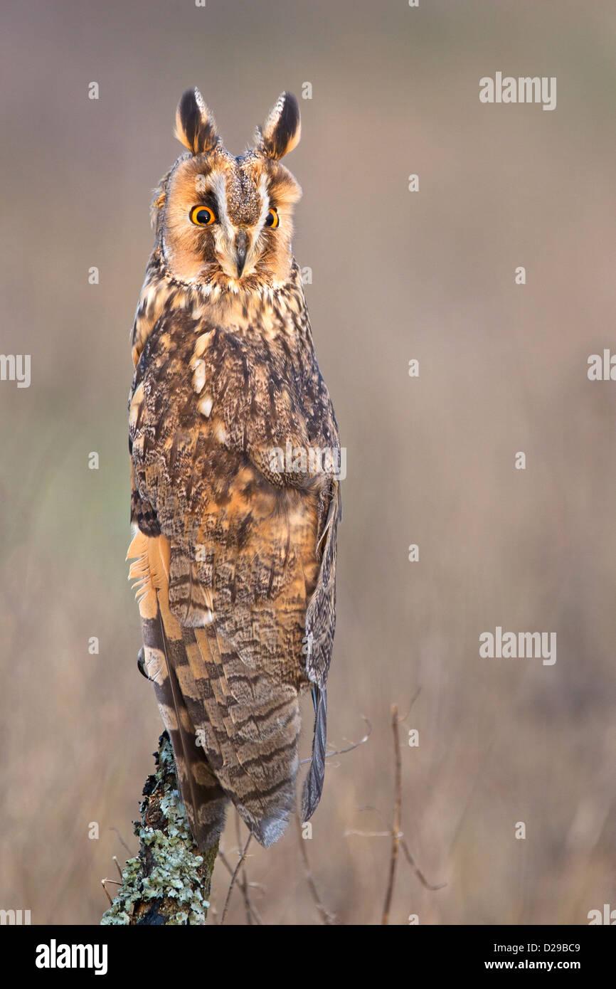 Long-eared Owl - Stock Image