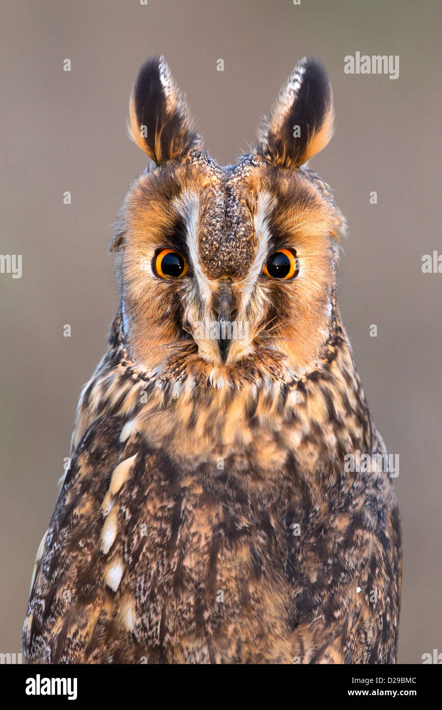 Portrait of a Long-eared Owl - Stock Image