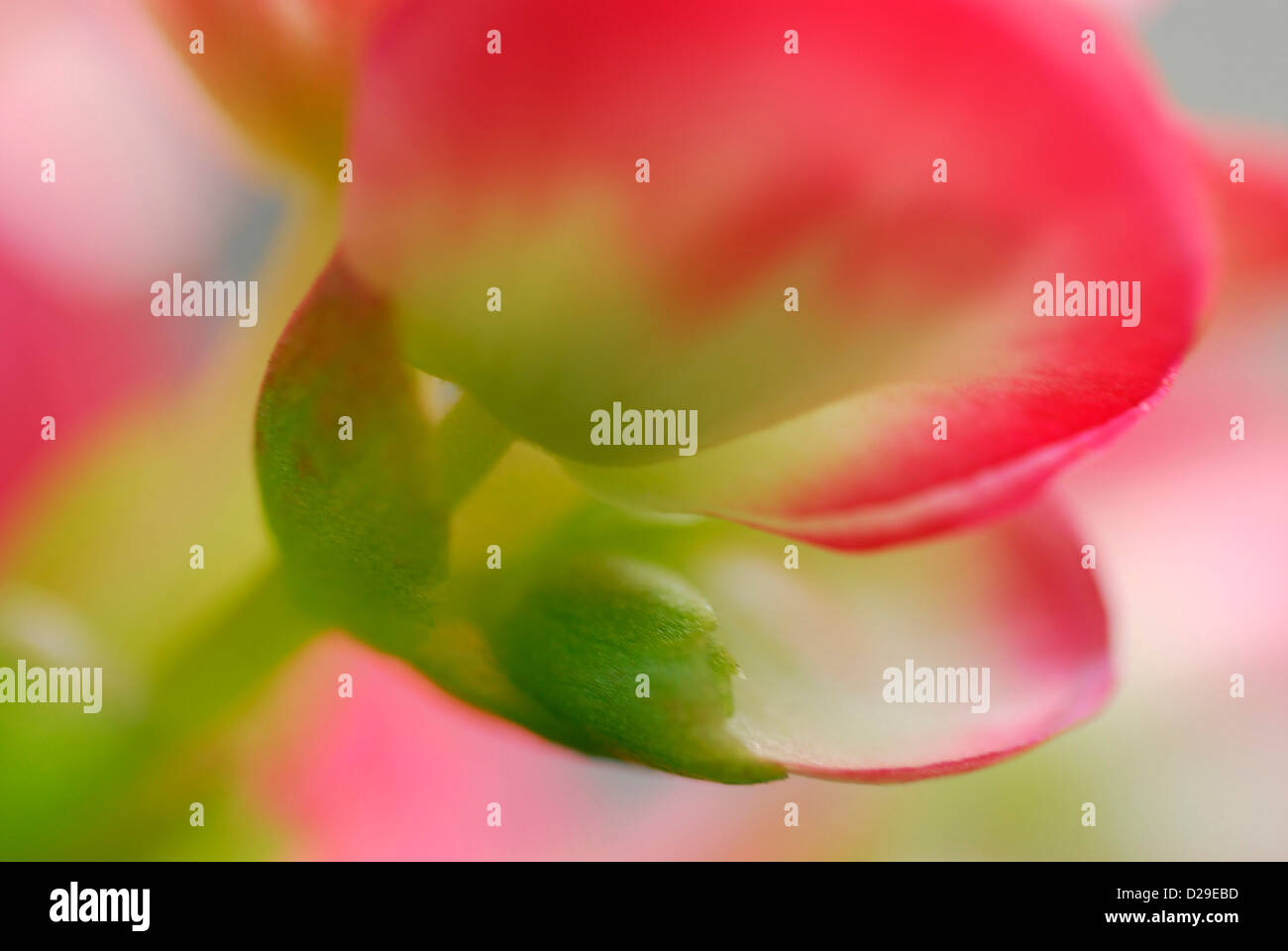 Begonia Flowers in Soft Light - Stock Image