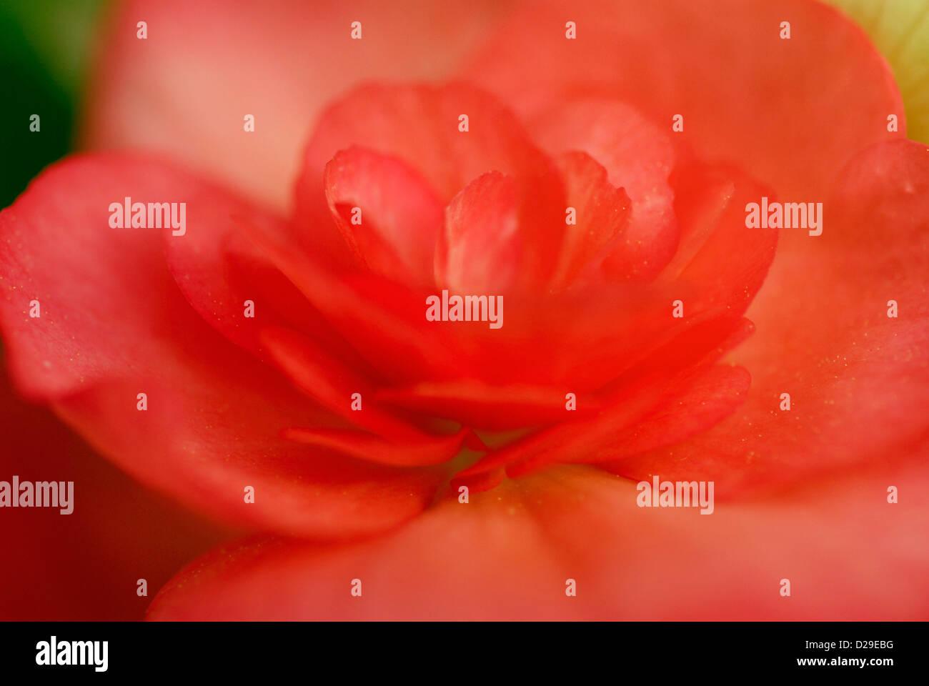 Begonia Flower Close-up, Soft Light - Stock Image