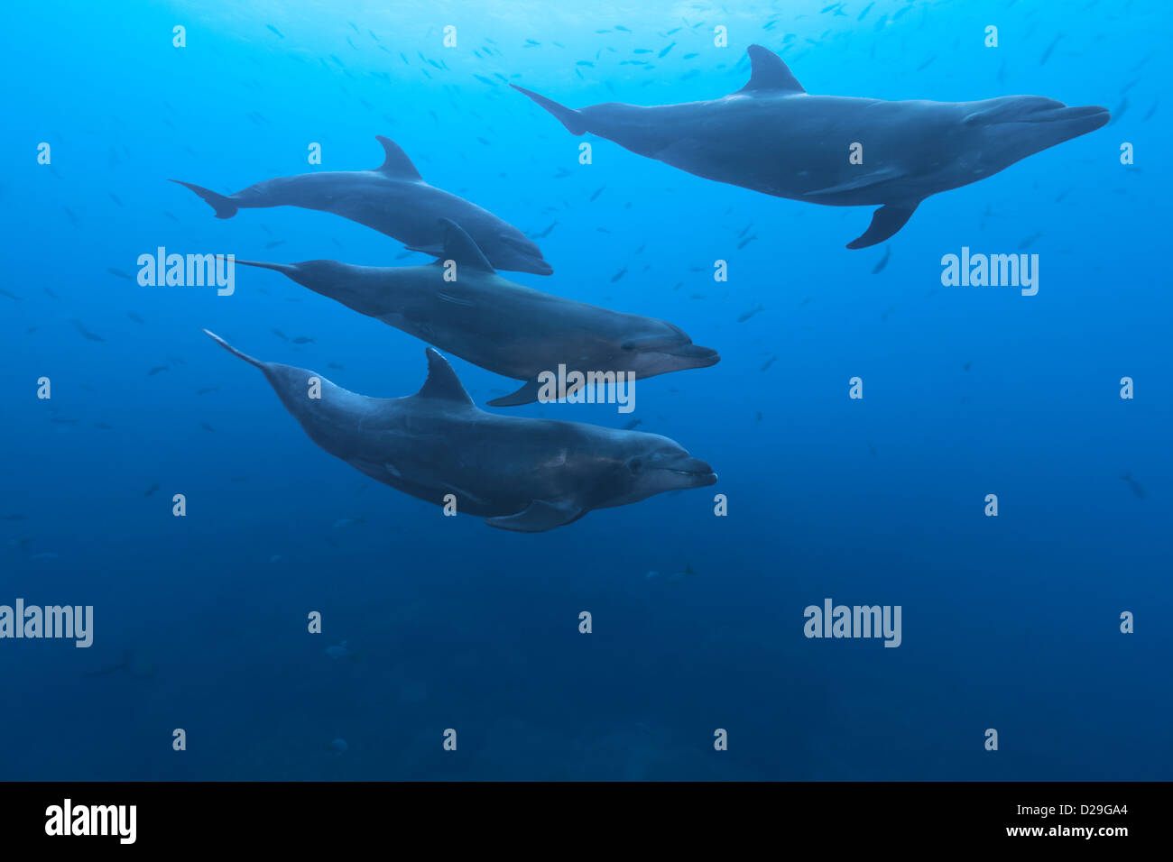 A pod of bottlenose dolphins (tursiops truncatus) swimming in waters of Archipielago de Revillagigedo, Las Cuevitas - Stock Image