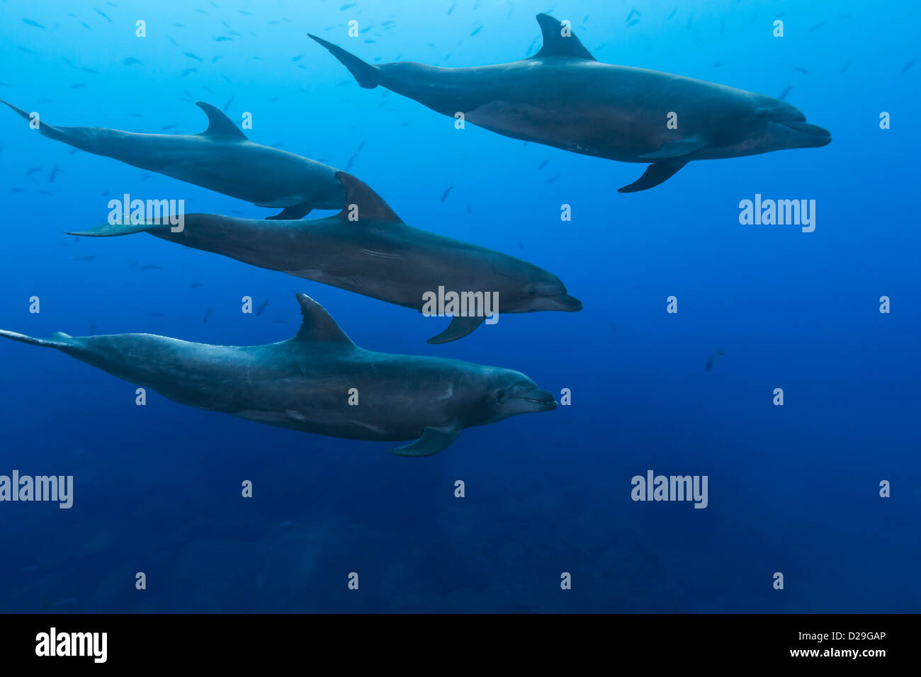 A pod of bottlenose dolphins (tursiops truncatus) swimming in waters of Archipielago de Revillagigedo, Las Cuevitas Stock Photo