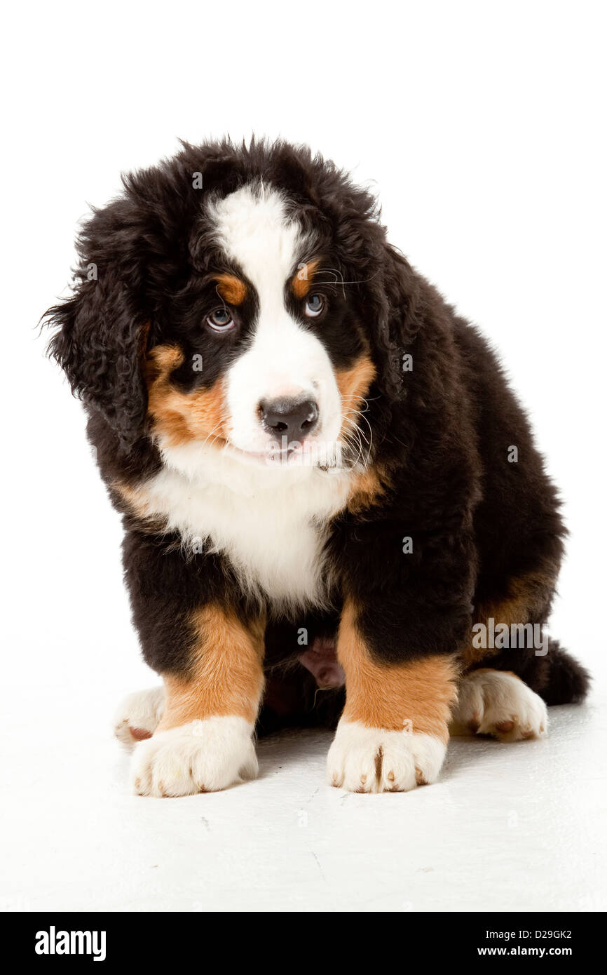 10 weeks old Bernese Mountain Dog puppy - Stock Image