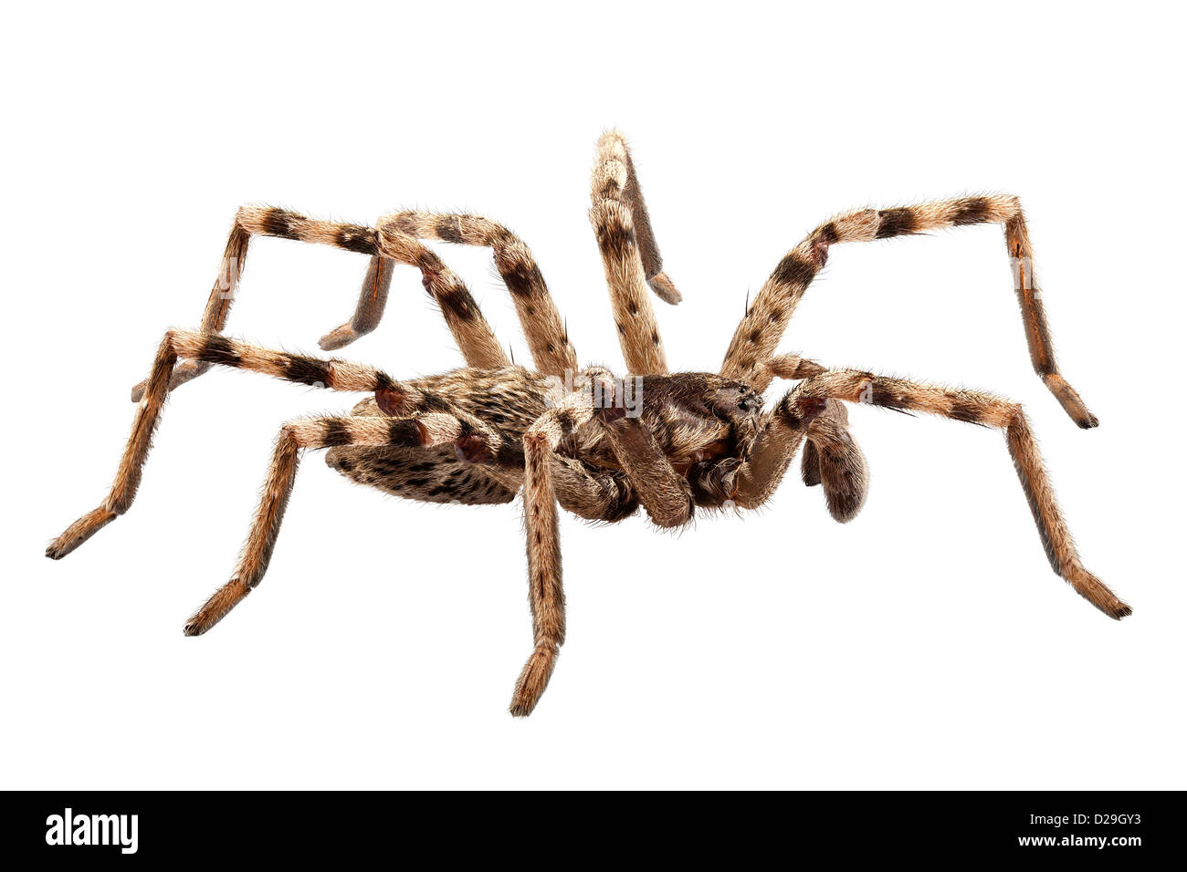 wolf spider lycosa sp in high definition - Stock Image