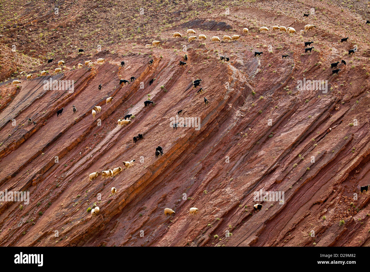 FLOCKS CROSSING AND GRAZING ON A ROCK FACE IN MOROCCO IN DESERT CONDITIONS - Stock Image