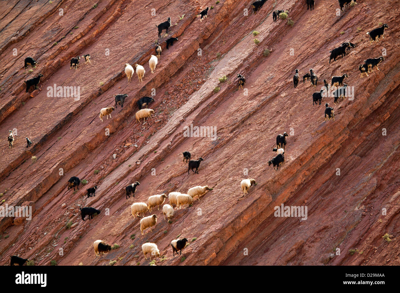 SHEEP AND GOAT FLOCKS CROSSING AND GRAZING ON A SHEER ROCK FACE IN MOROCCO - Stock Image