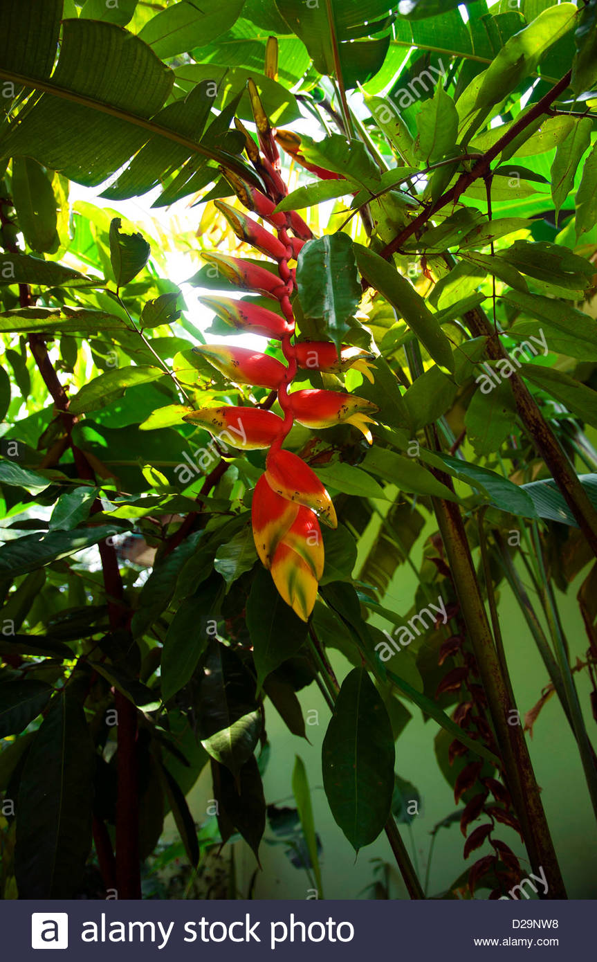 Heliconia rostrata at the tropical garden in Bogor, Java, Indonesia - Stock Image