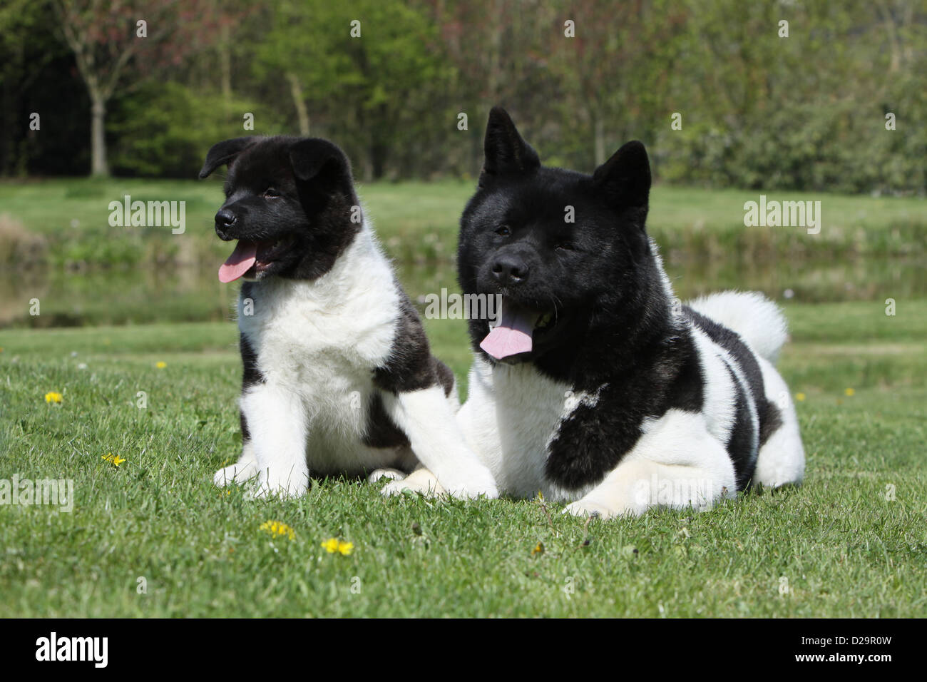 Dog American Akita Great Japanese Dog Adult And Puppy In A Garden