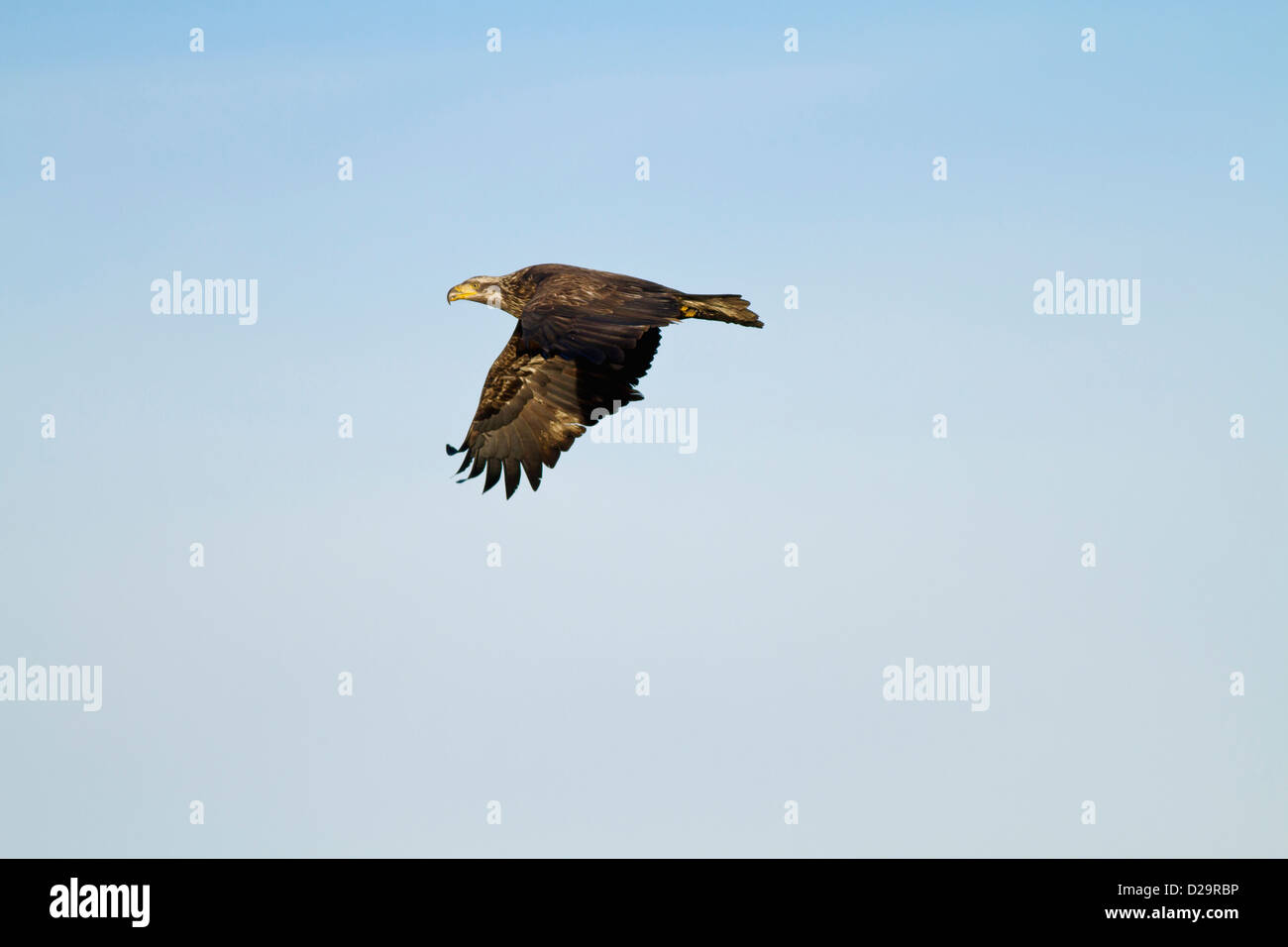 Juvenile On The Move - Stock Image