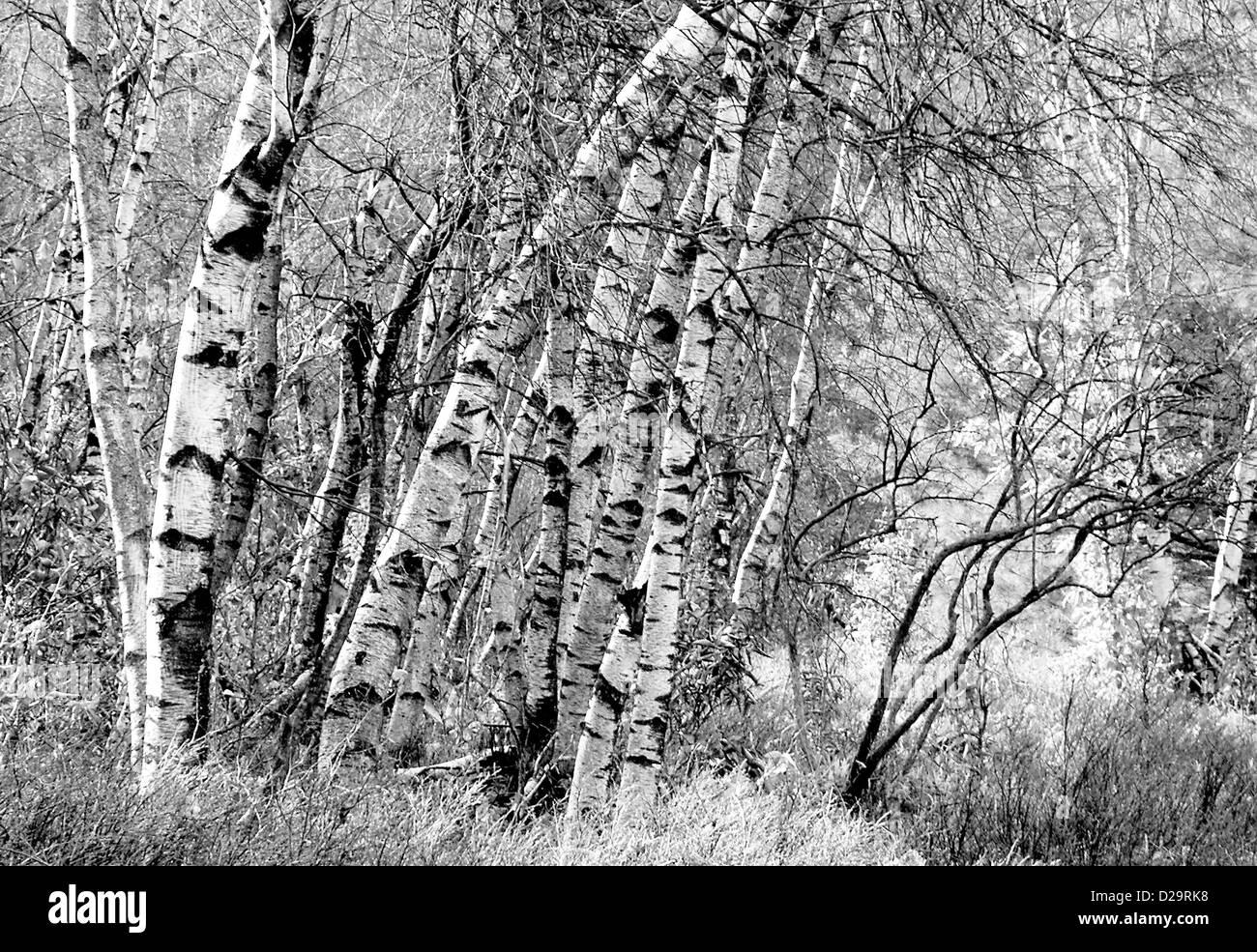 Birch Trees in Winter - Stock Image