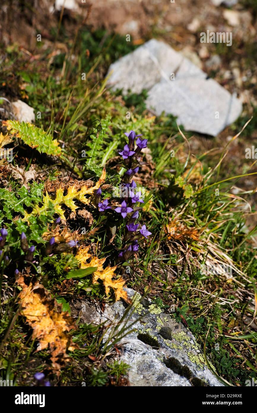 Field Gentian growing beside the Panoramaweg above Davos Graubunden Switzerland - Stock Image