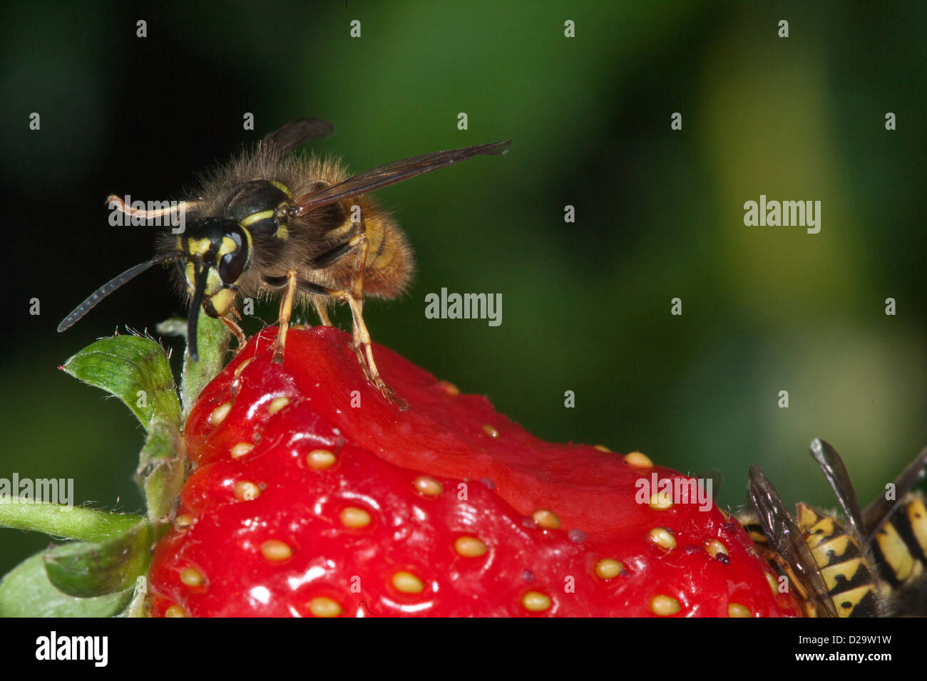 Common wasp  Vespula vulgaris - Stock Image