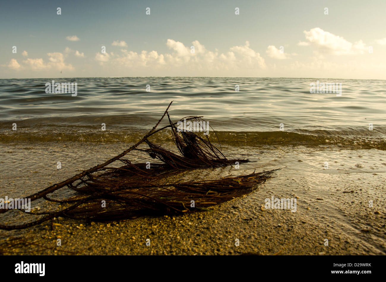 Filao branch on Bel Ombre beach - Stock Image