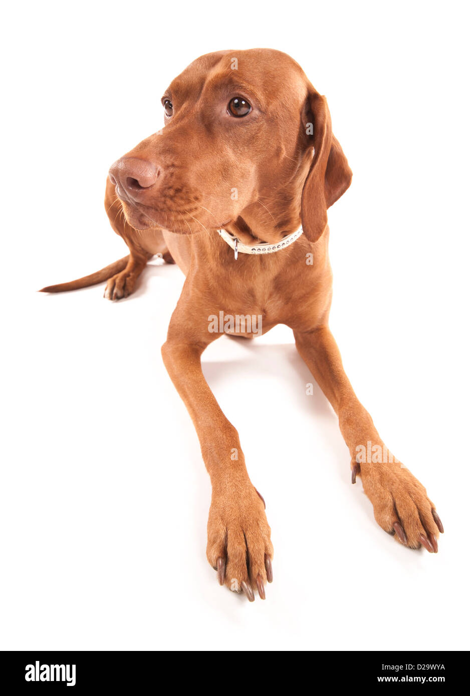 Wide angle portrait of a beautiful brown dog. Isolated on white background. - Stock Image