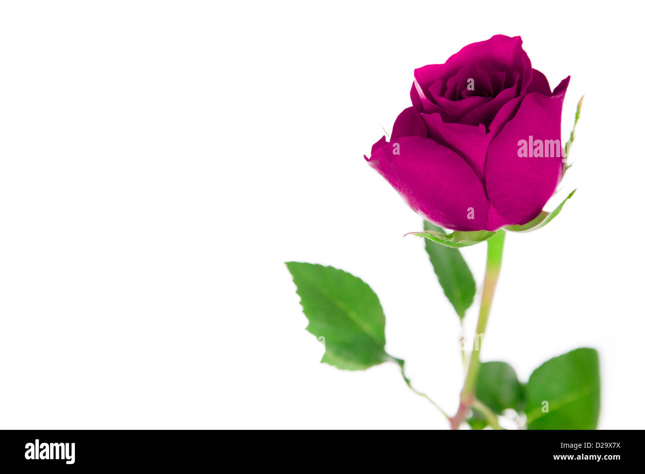 a single pink rose on a white background stock photo 53078590 alamy